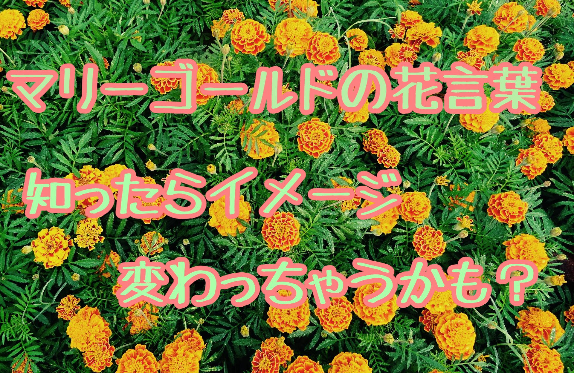 マリーゴールドの花言葉やその由来は?白色やオレンジ色が気になる!